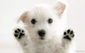 White puppy holding up his paws